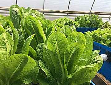 Lettuce grows in aquaponics system.