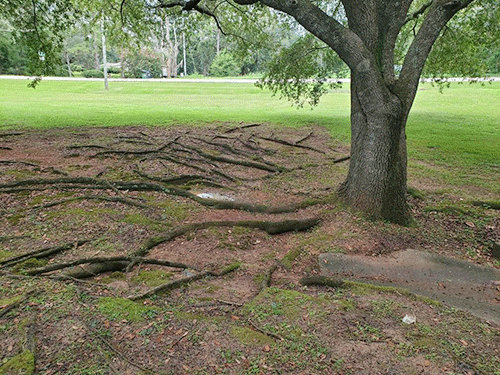 Trees in Tallahassee, Florida.